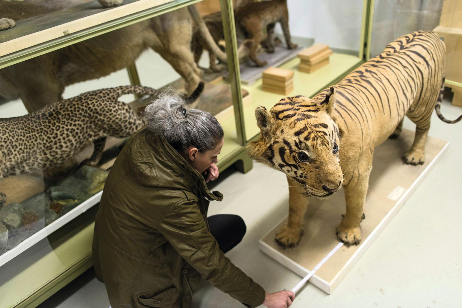 Die Vermessung des Java-Tigers, 2014, Museum Wiesbaden
